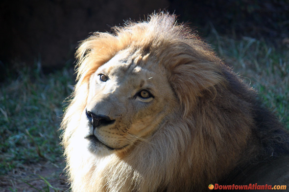 zoo-african-lion