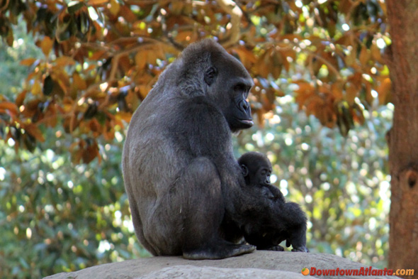 zoo-gorilla-mom-and-baby